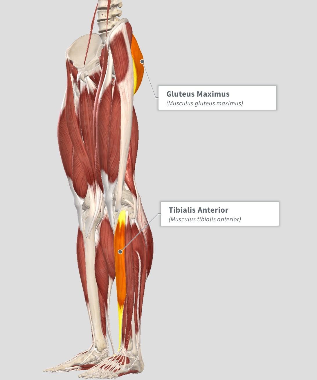 Wunderbar Gluteus Medius Anatomie Fotos - Menschliche Anatomie ...